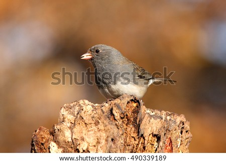 Dark-eyed Junco (junco hyemalis) on a perch in winter