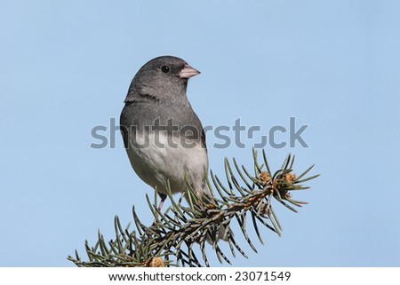 Dark-eyed Junco (junco hyemalis) on a spruce branch with a blue sky background - stock photo