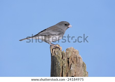Dark-eyed Junco (junco hyemalis) on a stump with a blue background - stock photo