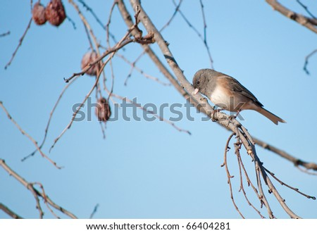 Dark-eyed Junco, Junco hyemalis, perched in a Persimmon tree against clear blue sky - stock photo