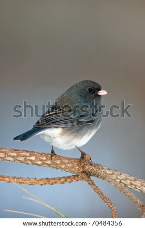 Dark Eyed Junco (Junco hyemalis) perched on a Evergreen branch.