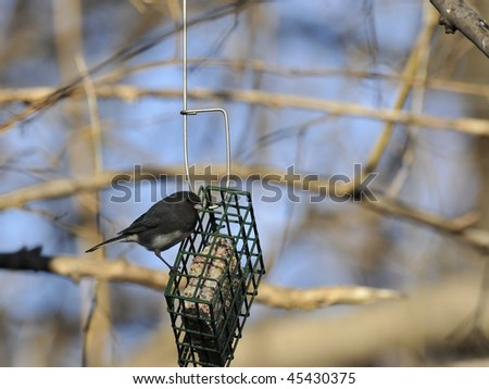 Dark eyed Junco: Junco hyemalis, photographed by the bird feeders in the Evodia Fields in Central Park, New York, winter. - stock photo