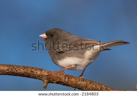 Dark-Eyed Junco perched on a branch.  Seven Valleys, Pennsylvania - stock photo