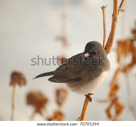 Dark-Eyed Junco perched on a dry flower stalk against snowy background - stock photo
