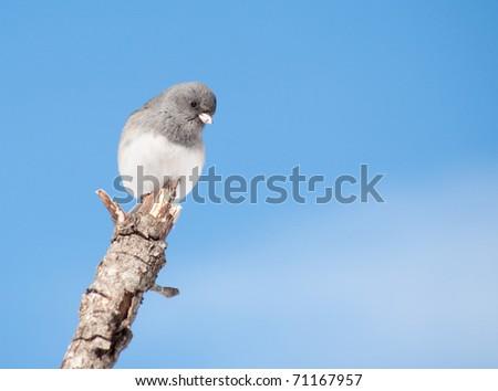 Dark-eyed Junco sitting on a limb in winter sun against blue sky - stock photo
