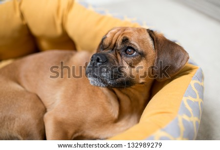 Dark Fawn Puggle Dog Laying in Round Bed Looking Up - stock photo