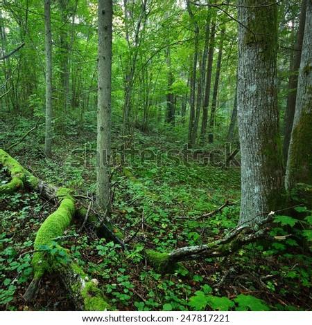 Dark forest scene full of moss. Latvia - stock photo