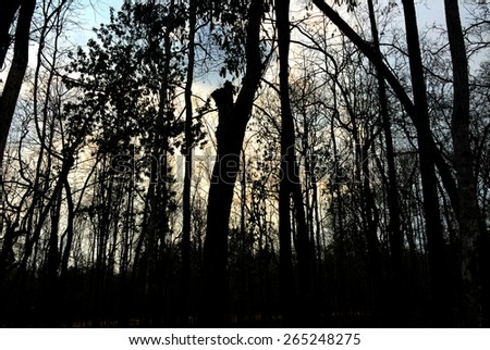 dark forest with black trees and blue sky - stock photo