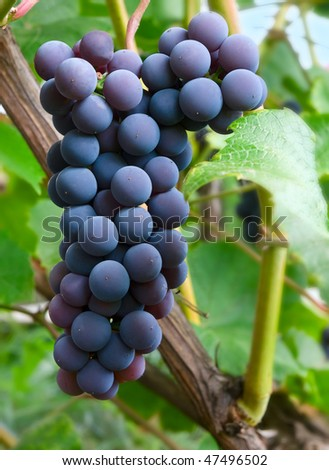dark grapes over green closeup. shallow dof - stock photo