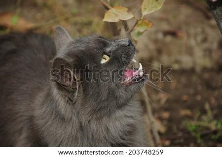 Dark grey cat meowing - stock photo