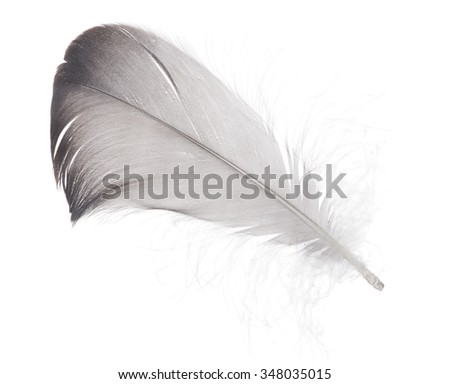 dark grey feather isolated on white background