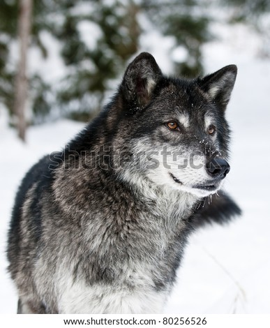 Dark grey wolf in winter - stock photo