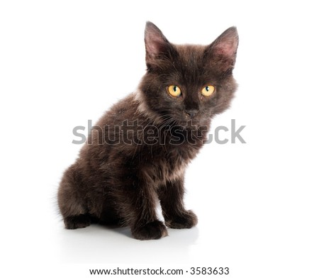 dark kitten on a white background