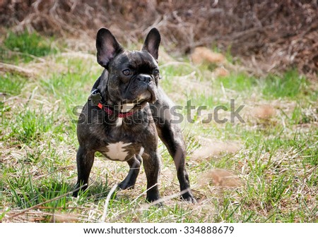 Dark mottled french bulldog (young bitch) on meadow
