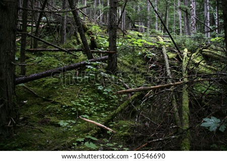 Dark, mysterious primeval forest - Mount Robson Provincial Park in British Columbia, Canada.