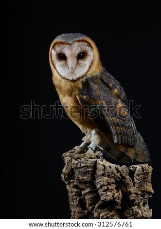 Dark Phase Barn Owl (Tyto alba), on perch looking at camera. Low key studio shot taken against a dark background. - stock photo