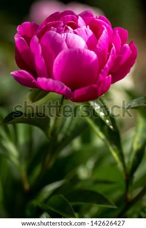 Dark pink peony flower opening petals stock photo royalty free dark pink peony flower opening its petals in the sunlight mightylinksfo