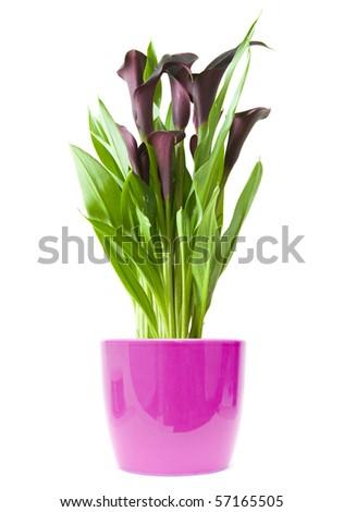 """dark purple (""""black"""") calla lily plant in bright purple pot isolated on white background - stock photo"""