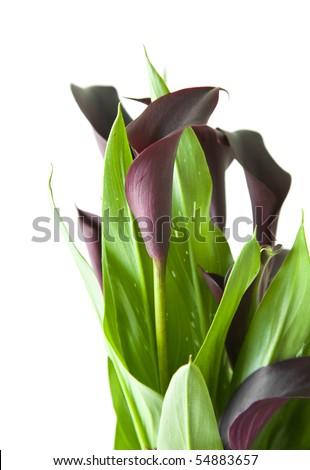 "dark purple (""black"") calla lily plant isolated on white background; - stock photo"