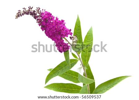 dark purple flowers of Buddleja davidii (Butterfly Bush), isolated - stock photo