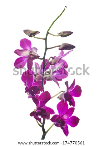 dark purple orchid flowers isolated on white background