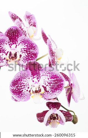 Dark purple Phalaenopsis orchids with different stages of blooming from bud, semi bloom and full bloom close up - stock photo