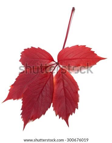 Dark-red autum virginia creeper leaf (Parthenocissus quinquefolia foliage). Isolated on white background.  - stock photo