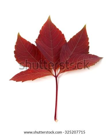 Dark-red autum virginia creeper leaf (Parthenocissus quinquefolia foliage). Isolated on white background. Selective focus. - stock photo
