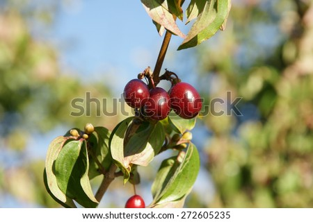 Dark red berries on the dogwood bush branch on the sky background in the summer home garden  - stock photo
