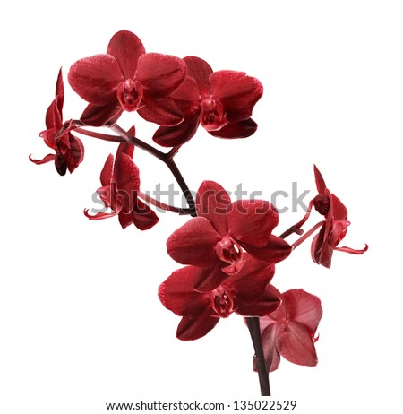 dark red orchid flowers isolated on white background - stock photo