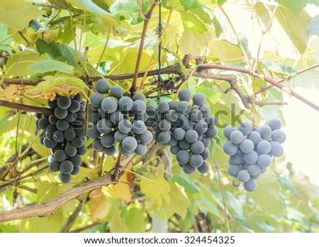 Dark red, purple grapes fruit hang, Vitis vinifera (grape vine) green leaves in the sun, close up. - stock photo