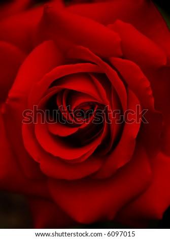 Dark red rose - stock photo