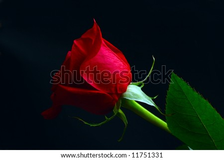 dark red rose and green leaves on black background - stock photo