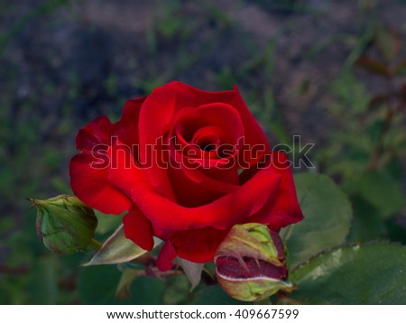 Dark Red rose are blossing in garden outdoors