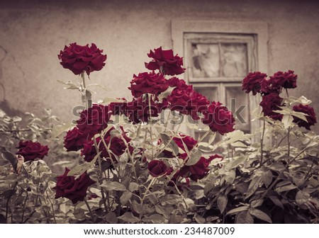 Dark red rose bush with vintage window in the background. Retro style effect - stock photo