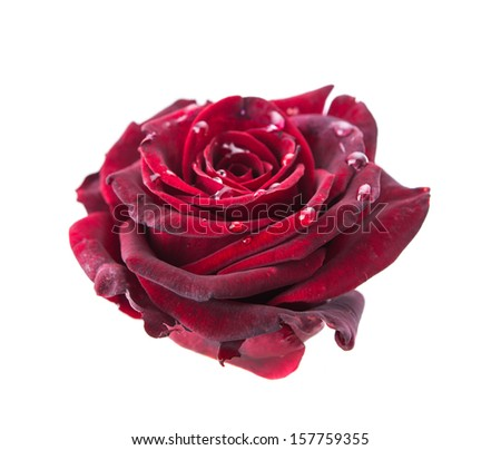 dark red rose on a white background - stock photo