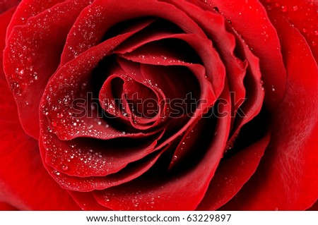 dark red rose with dew drops very close-up - stock photo