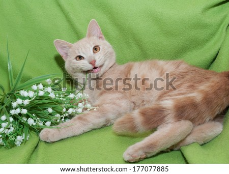 Dark-red striped kitten, bouquet lilies gnawing on green background - stock photo