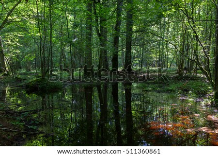 Dark shady deciduous stand in summer noon with standing water,Bialowieza Forest,Poland,Europe
