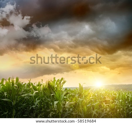 Dark skies looming over corn fields at sunset - stock photo