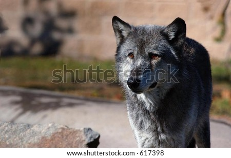 Dark Timber Wolf Standing on Right