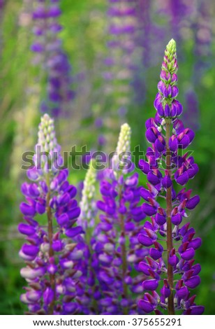 Dark vibrant lila Lupininae in early summertime blooms, plant in legume family, Fabaceae. Close-up viev with space for text on green flowering field in forest  - stock photo