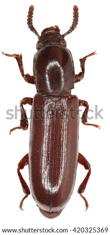 Darkling Beetle Corticeus on white Background  - Corticeus unicolor  (Piller & Mitterpacher 1783) - stock photo