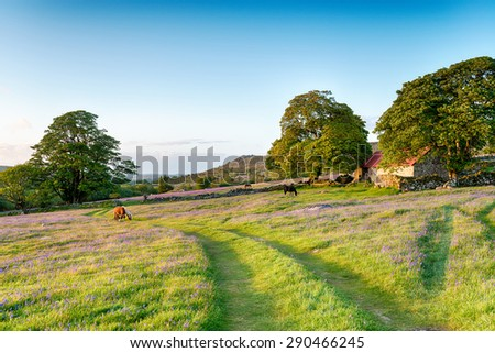 Dartmoor ponies grazing in a bluebell meadow by an old red roofed barn - stock photo