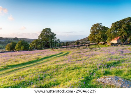 Dartmoor ponies grazing in the evening on a bluebell meadow by an old red roofed barn - stock photo