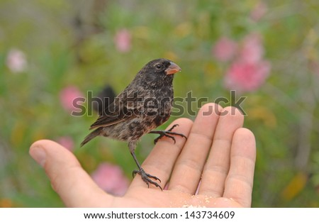 Darwin's Finches, Galapagos Islands, Ecuador - stock photo