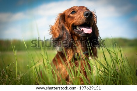 Daschund - stock photo