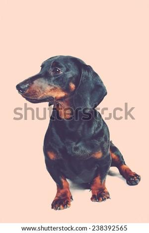 Daschund dog - stock photo