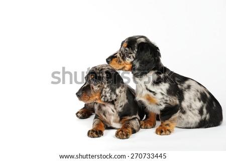 Daschund puppies - stock photo