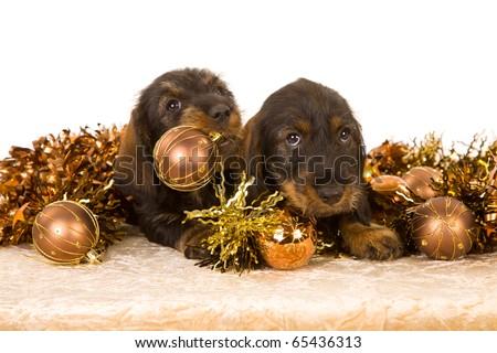 Daschund puppies with bronze Christmas decorations - stock photo